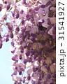藤の花 31541927