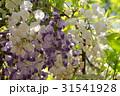 紫と白の藤の花 31541928