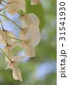 白い藤の花 31541930