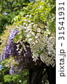 紫と白の藤の花 31541931