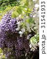 紫と白の藤棚 31541933