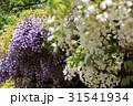 紫と白の藤棚 31541934