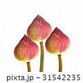 Lotus flower isolated on white background 31542235