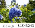 鎌倉の紫陽花 31543243
