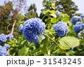 鎌倉の紫陽花 31543245