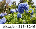 鎌倉の紫陽花 31543246