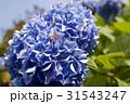 鎌倉の紫陽花 31543247