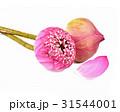 lotus petals flowwes on white background 31544001
