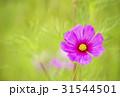秋イメージ コスモス畑 背景素材 31544501