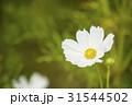 秋イメージ コスモス畑 背景素材 31544502