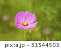 秋イメージ コスモス畑 背景素材 31544503