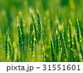 小麦 農業 麦の写真 31551601