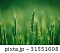 小麦 農業 麦の写真 31551608