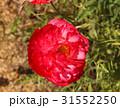 ポピー シャーレーポピー 赤の写真 31552250