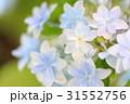 アジサイ 花 ガクアジサイの写真 31552756