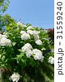 白い紫陽花 31559240
