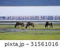 ヌー フラミンゴ サバンナの写真 31561016