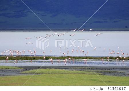 フラミンゴの群れ 31561017