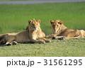 若いライオン 31561295