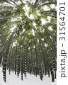竹 ローアングル 森の写真 31564701
