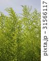 木 竹 植物の写真 31566117