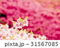 花 春 ピンクの写真 31567085