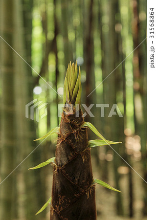 竹 森 植物 31568864
