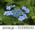 紫陽花 額紫陽花 花の写真 31569242