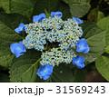 紫陽花 額紫陽花 花の写真 31569243