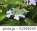 紫陽花 額紫陽花 花の写真 31569245