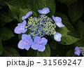 紫陽花 額紫陽花 花の写真 31569247