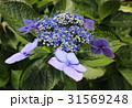 紫陽花 額紫陽花 花の写真 31569248