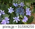 紫陽花 額紫陽花 花の写真 31569250