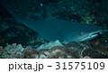 ネムリブカ 31575109