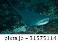 ネムリブカ 31575114