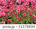 桃色 背景 お花の写真 31578694