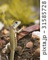 とかげ トカゲ 野生生物の写真 31585728
