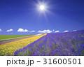 ラベンダー畑と雲と太陽 31600501