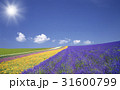 ラベンダー畑と雲と太陽 31600799