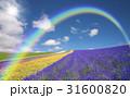 ラベンダー畑と雲と虹と太陽 31600820