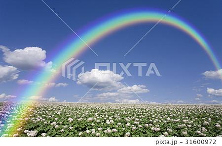 ジャガイモ畑のジャガイモの花と雲と虹 31600972