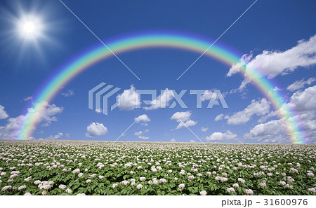 ジャガイモ畑のジャガイモの花と雲と虹と太陽 31600976