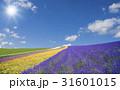 ラベンダー畑と雲と太陽 31601015