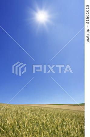 麦畑と太陽 31601018