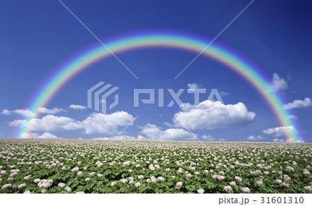 ジャガイモ畑のジャガイモの花と雲と虹 31601310