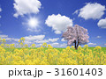 菜の花と桜の木 31601403