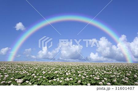 ジャガイモ畑のジャガイモの花と雲と虹 31601407