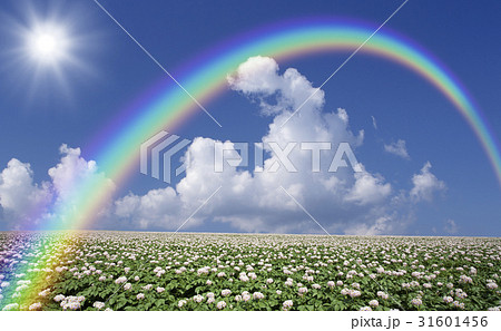 ジャガイモ畑のジャガイモの花と雲と虹と太陽 31601456