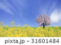 菜の花と桜の木 31601484