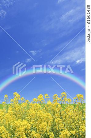 菜の花と空 31601489